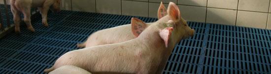 Zachowanie świń podczas walki o pozycję w stadzie, pierwszy kontakt