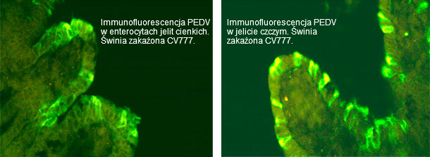 Immunofluorescencja PED. Świnia zakażona CV777