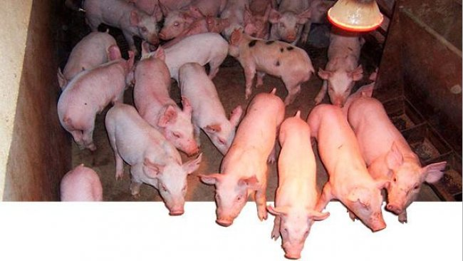 Growth and finisher pig traits are moderately heritable