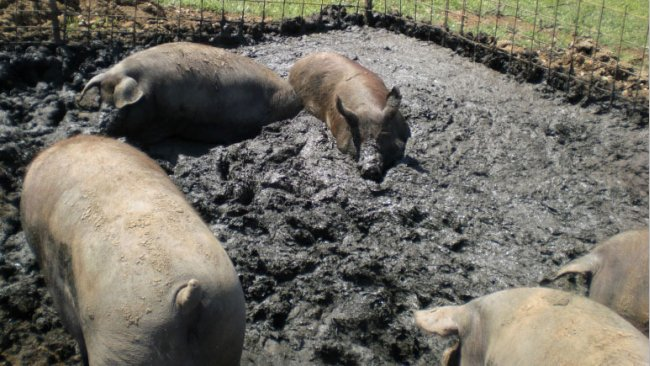 Iberian pig creating its own wet area to lie in an outdoor plot.