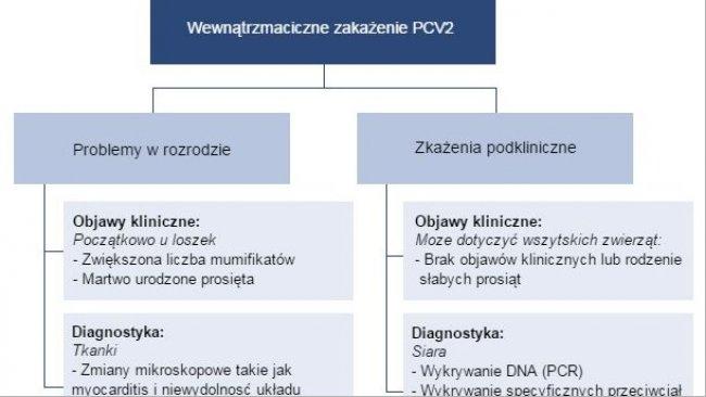 Wpływ zakażeń PCV2 na rozród.