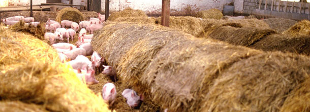 Weaners transferred into large straw yard for 2 weeks before dispatch