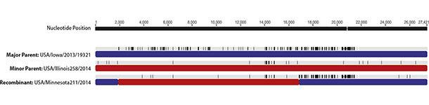 Obszary rekombinacji genomu PEDv