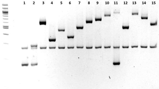 Określanie serotypu Haemophilus parasuis