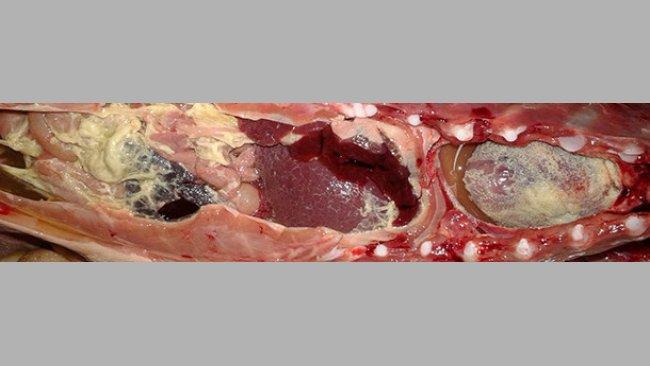 Włóknikowe zapalenie błon surowiczych u prosięcia po odsadzeniu