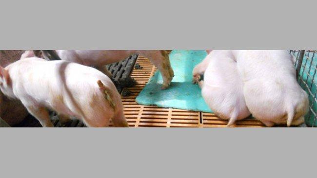 Prosięta charłacze, wymioty, wyniszczenie i biegunka w typowym przebiegu PED w Azji.