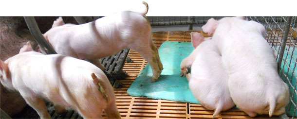 Runt piglets, vomiting, wasting and diarrhoea typical of PED in current outbreaks in Asia.