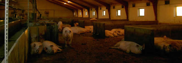 Pregnant sows in group pens