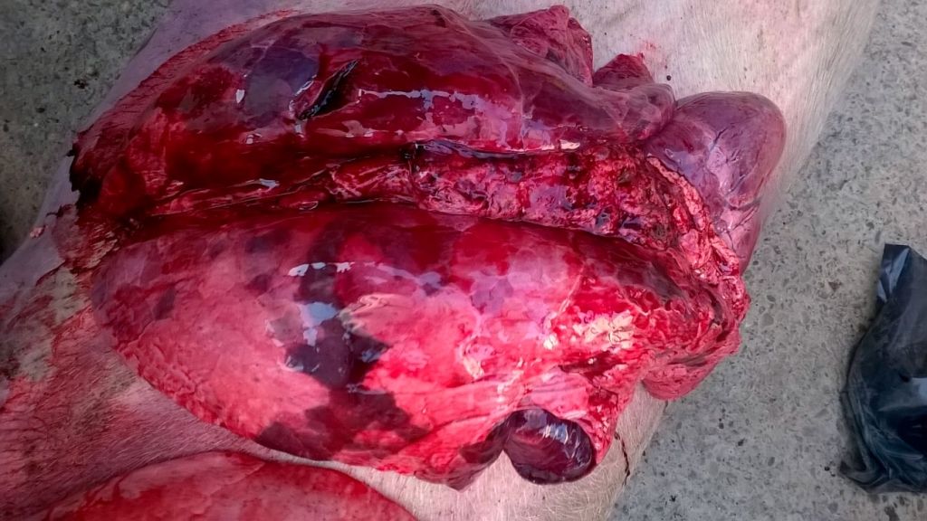 <p>Necropsy lesions consistent with enzootic pneumonia, influenza, PRRS and other bacterial infections</p>