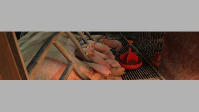 miot świń