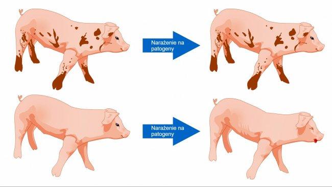 Rysunek 1. Świnie narażone na kontakt ze środowiskiem z większą liczbą mikroorganizmów lepiej radzą sobie z chorobami dzięki bardziej zróżnicowanej mikroflorze i bardziej wydajnemu układowi odpornościowemu.