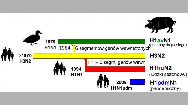Rycina 1. Historia i pochodzenie wirusów grypy A (IAV) u świń w Europie. Należy podkreślić, że żaden z obecnie krążących u świń szczepów nie pochodzi od tego gatunku zwierząt.