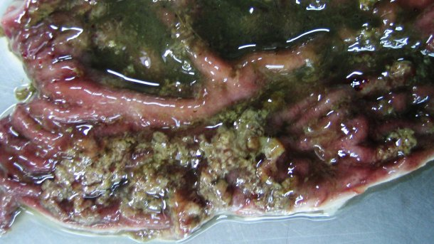Okrężnica 10-tygodniowego prosięcia z dezynterią świń. Powierzchniowa martwica i krwisto nieżytowa zawartość jelita.