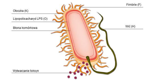 Ryc. 1.Schematyczny wygląd bakterii E. coli przedstawiający czynniki zjadliwości i antygeny powierzchniowe wykorzystywane do klasyfikacji bakterii na wirotypy i serotypy.