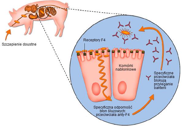 Ryc. 2. Podawanie w wodzie do picia żywej nietoksygenicznej szczepionki zawierającej szczep E. coli F4-dodatni powoduje lokalne pobudzenie wytwarzania na błonach śluzowych specyficznych przeciwciał anty-F4, które blokują adhezję bakterii do komórek nabłonka błony śluzowej jelita