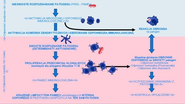 Rysunek 1. Fazy indukcji, aktywizacji i rozwoju wrodzonej i swoistej odporności w odpowiedzi na pojawienie się patogenu.