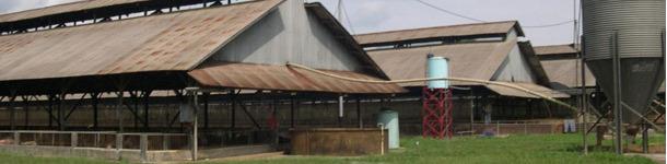 Typowe dla Azji południowo-wschodniej wiaty tuczarni z zabezpieczeniem przeciw ptakom i gryzoniom.