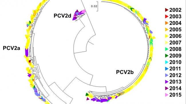 Ryc. 2. Drzewo filogenetyczne wykonane metodą największego prawdopodobieństwa. Sekwencje 729 ORF2 z bazy danych UMN-VDL pokolorowano według roku. Zaznaczono genotypy PCV2.