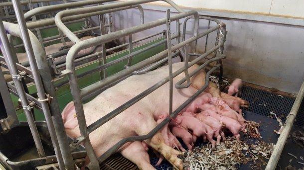 Fot 5. Ruchome szyny są wygodne dla lochy, ponieważ zapewniają jej więcej przestrzeni na położenie się i opiekę nad potomstwem. Szynę należy ustawiać precyzyjnie, tak by nie przykrywała sutków.