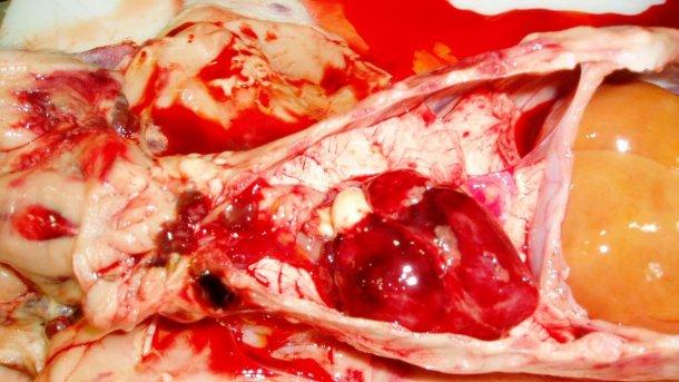 Ryc. 7. Serce prosięcia z ryc. 3. Widoczne wybroczyny punkcikowe w sercu i przekrwienie węzłów chłonnych.
