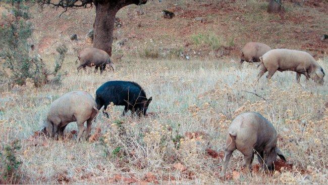 Kontakt z dzikami jest bardziej prawdopodobny w gospodarstwach ekstensywnych, ale niektóre patogeny, takie jak wirus Aujeszky'ego lub wirus klasycznego pomoru świń, mogą dostać się do świń hodowanych w budynkach.