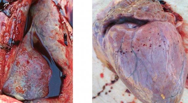 Fot 3-4: Obecność włóknikowego zapalenia opłucnej, pericarditis (po lewej) i wybroczyn na sercu ( po prawej)