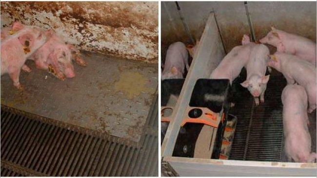 Wykres 2 – świnie utrzymywane w brudnym (po lewej) i czystym (po prawej) środowisku w fazie prestarteru.