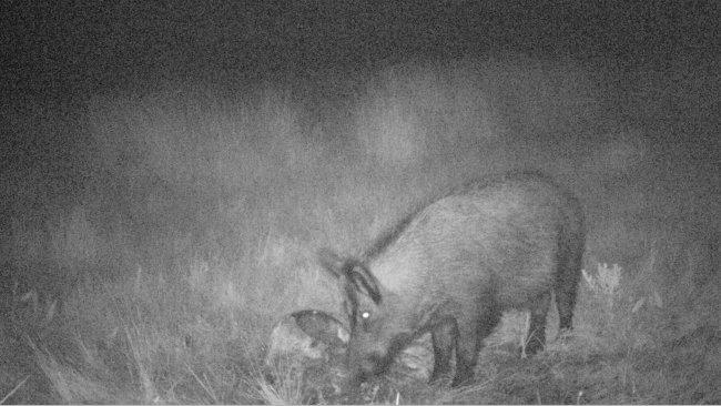 Zdjęcie 4: Foto- pułapki pozwalają na zobaczenie, co dziki robią z tuszami i resztkami po polowaniach. Bardzo istotne jest zabezpieczenie takiego materiału przed dzikami.