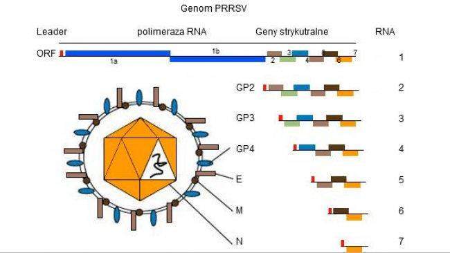 Rysunek 1. Genom PRRSV to jednoniciowa cząsteczka RNA.