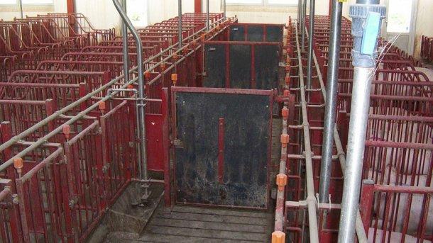 Drzwi w korytarzach przednich muszą się zamykać co 5 stanowisk, aby umożliwić wykrycie rui i krycie grupy 10 macior.