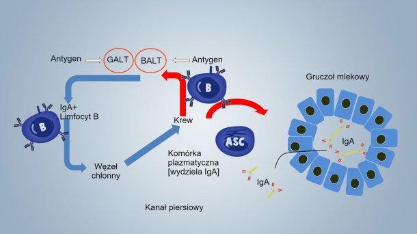Rysunek 1. Schemat odporności laktogennej.