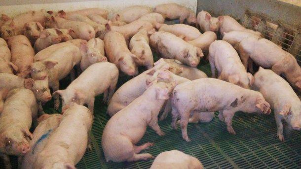 Ryc 1. Stłoczone świnie po odsadzeniu, wśród których są zwierzęta z objawami choroby