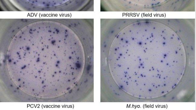 Ryc. 1. IFN-γ ELISPOT odpowiedzi swoiste dla antygenu w PBMC dla patogenów świń. ADV: wirus choroby Aujeszkyego; PRRSV: wirus zespołu rozrodczo-oddechowego świń; PCV2: cirkowirus świń typu 2; M.hyo .: Mycoplasma hyopneumoniae. Każdy punkt oznacza wydzielanie IFN-γ przez ponownie aktywowane limfocyty T pamięci/efektorowe. W nawiasie podano patogen użyty do ponownego aktywowania komórek w płytkach testowych.