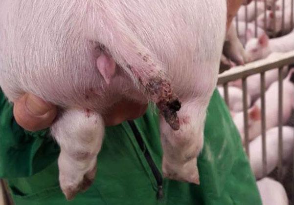 Ryc 1. Poważne uszkodzenie u 15-kg świni, widać brak części ogona