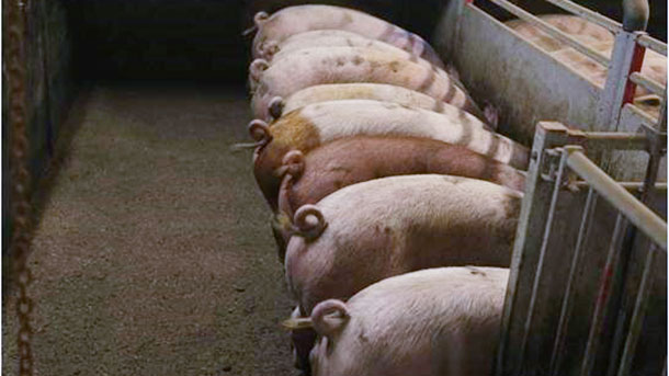 Picture 1. Intact (non-docked) pigs. Picture courtesy of Inge Böhne