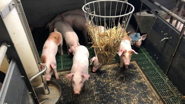 Fot 1. Świnie z nieobciętymi ogonami i materiały do zabawy. Dzięki uprzejmości Inge Böhne