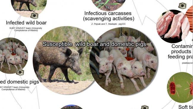 Wykres 1. Drogi przenoszenia wirusa afrykańskiego pomoru świń, w tym bezpośredni i pośredni kontakt ze zwierzętami zakaźnymi, ich produktami, wydalinami / wydzielinami i / lub krwią, tuszami, różnymi zanieczyszczonymi odpadkami i wektorami biologicznymi (opracowanie własne).