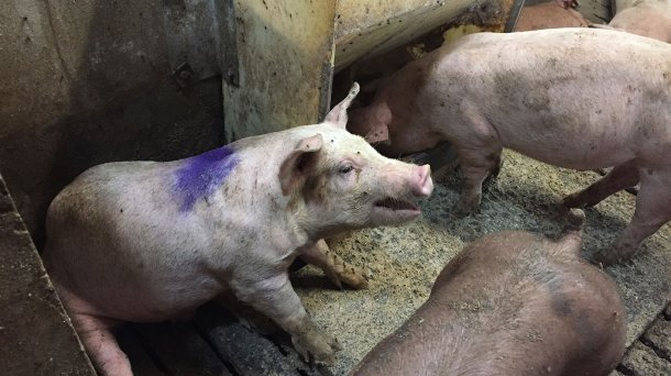 Ryc. 1. Kaszląca świnia w kojcu szpitalnym. Pokarm w kojcu szpitalnym to pasza sucha podawana ad libitum.