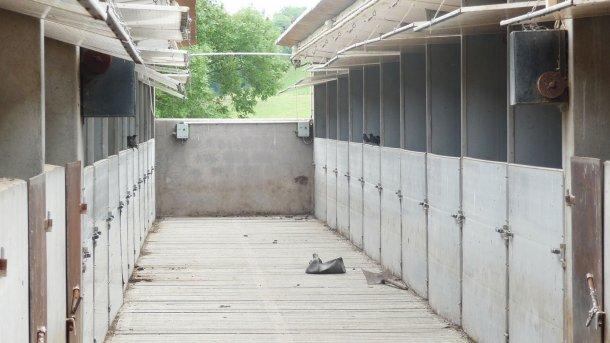 Ryc. 6. Szpaki w bezpośrednim kontakcie ze świniami jedzącymi pokarm pozostały w korytach.