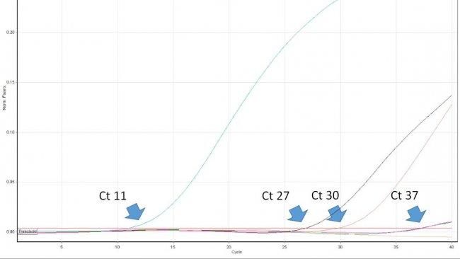 Ryc. 1. Wartość Ct oznacza numer pierwszego cyklu real time PCR, w którym wykrywana jest emisja fluorescencji z probówki reakcyjnej świadcząca o obecności poszukiwanego patogenu w próbce. Im niższa wartość Ct tym wyższa zawartość patogenu w badanej próbce. Interpretując wysokie wartości Ct należy brać pod uwagę możliwość spontanicznego rozpadu sondy TaqMan w późnych cyklach real time PCR, mimo braku swoistego DNA w próbce.