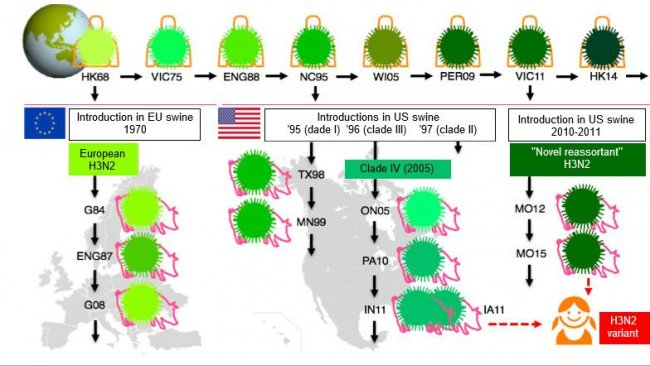 """Rys.1 Ewolucja wirusów H3N2 u ludzi i świń. Różne odcienie koloru zielonego ukazują różnice antygenowe hemaglutynin H3; szczepy wirusa są opisane miejscem i rokiem izolacji. Ludzkie wirusy przeniosły się na populacje świń we wczesnych latach 70. w Europie, natomiast w Ameryce Północnej nieco później- w połowie lat 90. i w roku 2010. Odbija się to na obecnej sytuacji, krążenia trzech różnych kladów wirusa H3N2 grypy świń (patrz prostokątne pola)- jednego w Europie i dwóch w Ameryce Północnej. Klady z Ameryki Północnej od czasu do czasu powracają do populacji ludzi, stąd określane są wirusami """"wariantowymi""""."""
