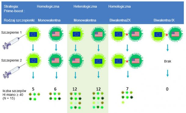 Rys.2 Wpływ tradycyjnych i heterologicznych schematów szczepień prime-boost na spektrum odpowiedzi przeciwciał na antygeny H3N2. Europejskie i północnoamerykańskie szczepy wirusa grypy świń oznaczone są różnymi flagami. Surowice pobrano 14 dnia po drugim szczepieniu i zostały zbadane pod kątem 15 antygenowo różnych wirusów, łącznie z szczepami szczepionkowymi. Cyfry odpowiadają ilości wirusów, dla których miana przeciwciał wynosiły ≥ 40.