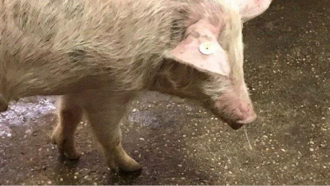 Fot. 1. Wypływ z nosa + gorączka- grypa świń