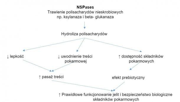 Mechanizm działania enzymów egzogennych. Enzymy egzogenne wykazują działanie prebiotyczneprzez hydrolizę nieskrobiowych polisacharydów do oligosacharydów wykorzystywanych przez niektóre bakterie. Zapożyczone z Sinha 2011