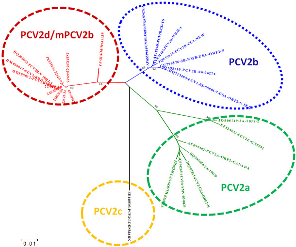 Relationship of the main PCV2 genotypes based on ORF2 sequence comparison