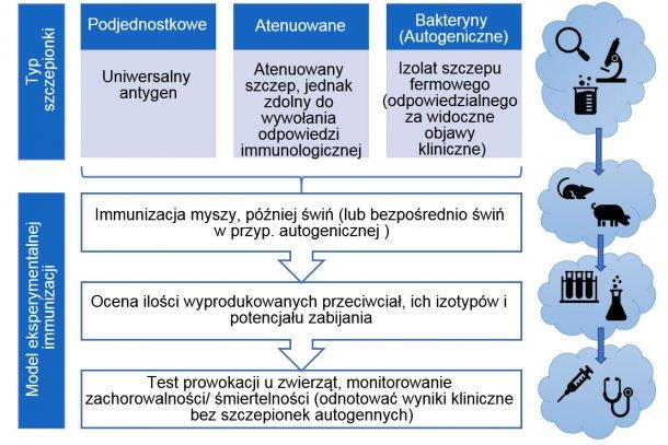 Ryc. 3. Etapy eksperymentalnego testowania skuteczności szczepionki ( z uwzględnieniem typu szczepionki)