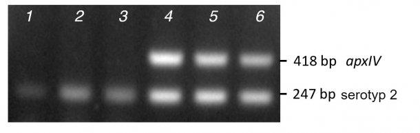 Zdj. 2 Prążki uzyskane z badania kolonii oczyszczonej PCR (kolumny 1-3) w porównaniu do DNA (kolumny 4-6) trzech izolatów terenowych należących do serotypu 2, przy użyciu mPCR..