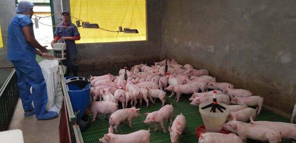 Odpowiednie żywienie nowo odsadzonych świń jest kluczem do ich przyszłego rozwoju