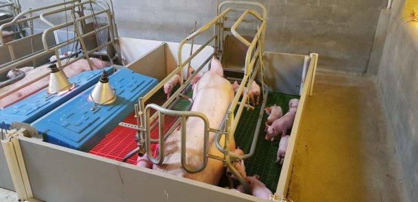 Kojce w pierwszych tygodniach porodu pomagają w optymalnej kontroli środowiska lochy i prosiąt