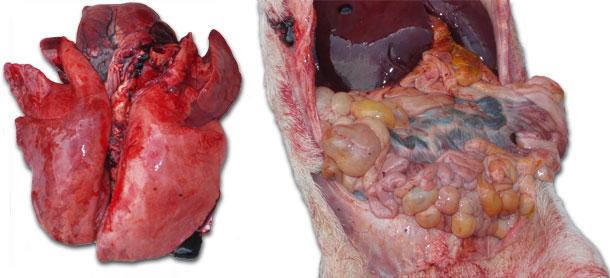 Silne przekrwienie płuc i zapalenie jelit z powiększeniem węzłów chłonnych krezkowych.
